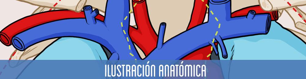 Galería ilustración anatómica